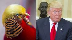 İşte Trump'a benzeyen kuş: Golden Pheasants