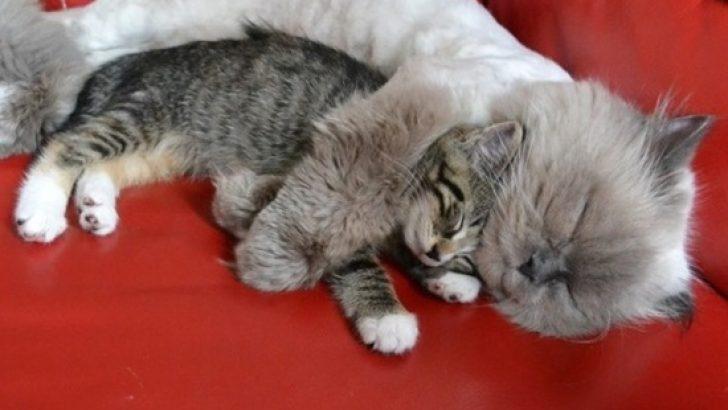 Minik kedilerin kalbinizi ısıtacak 20 görüntüsü
