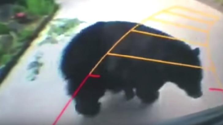 Davetsiz ayı park sensöründe görüntülendi