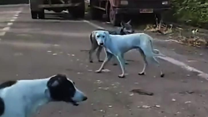 Hindistan'daki mavi renkli köpekler nasıl ortaya çıktı