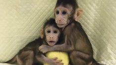 """Volkswagen'de """"maymun skandalı"""" büyüyor!"""
