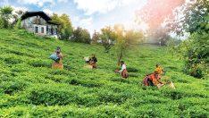 Doğuş Çay ve National Geographic'ten 'Çayın Yolculuğu'