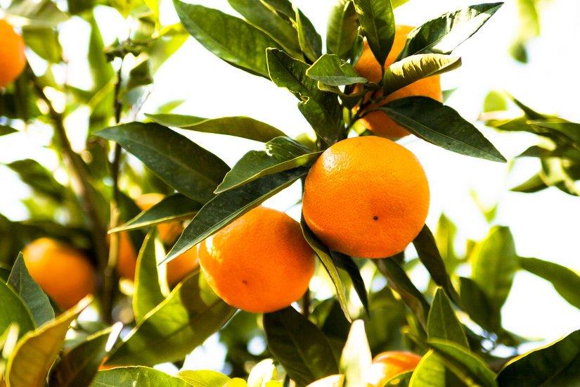 Türkiye, 1 ayda 110 milyon dolarlık mandalina ihraç etti